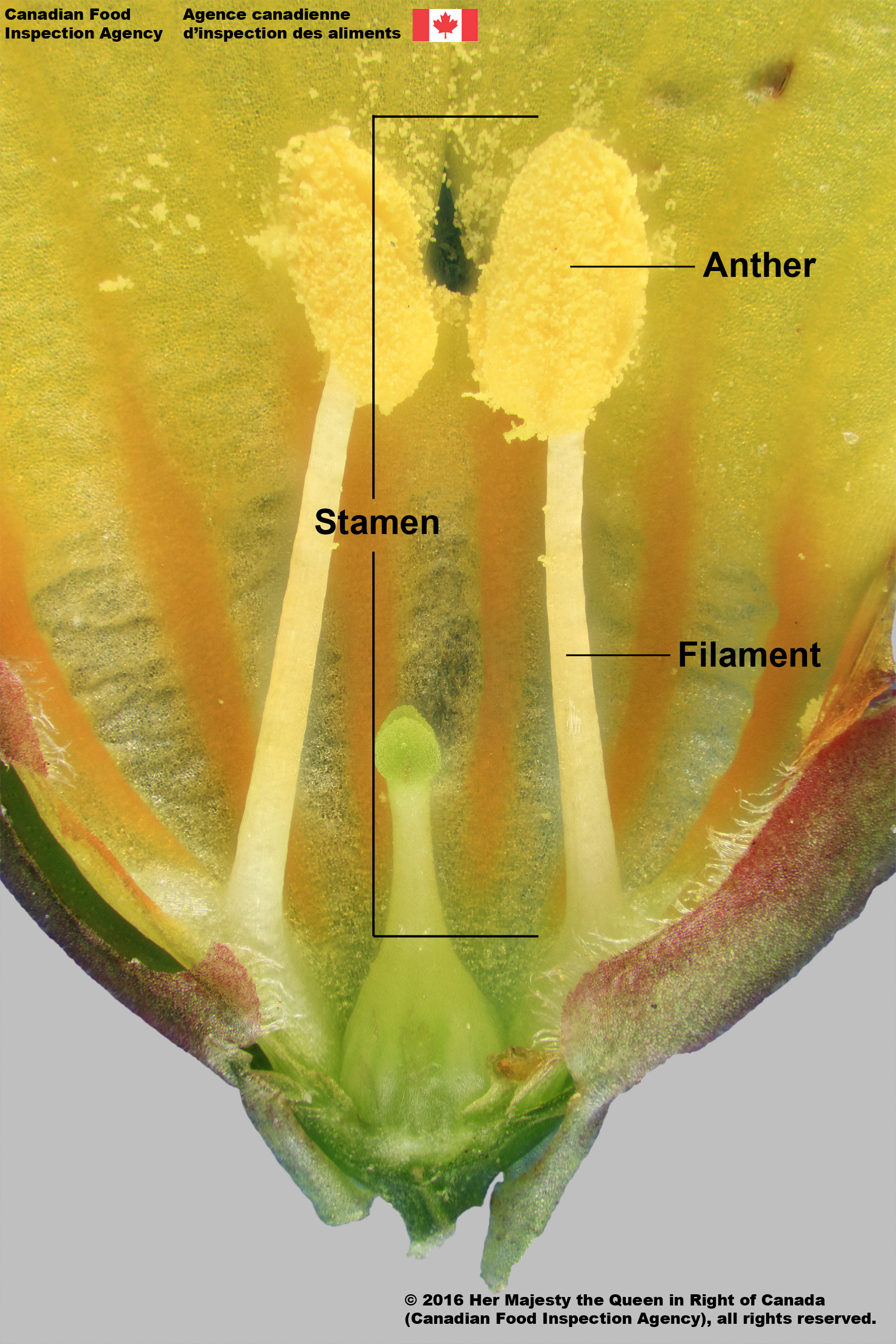 anthers_and_filaments_annotated.jpg
