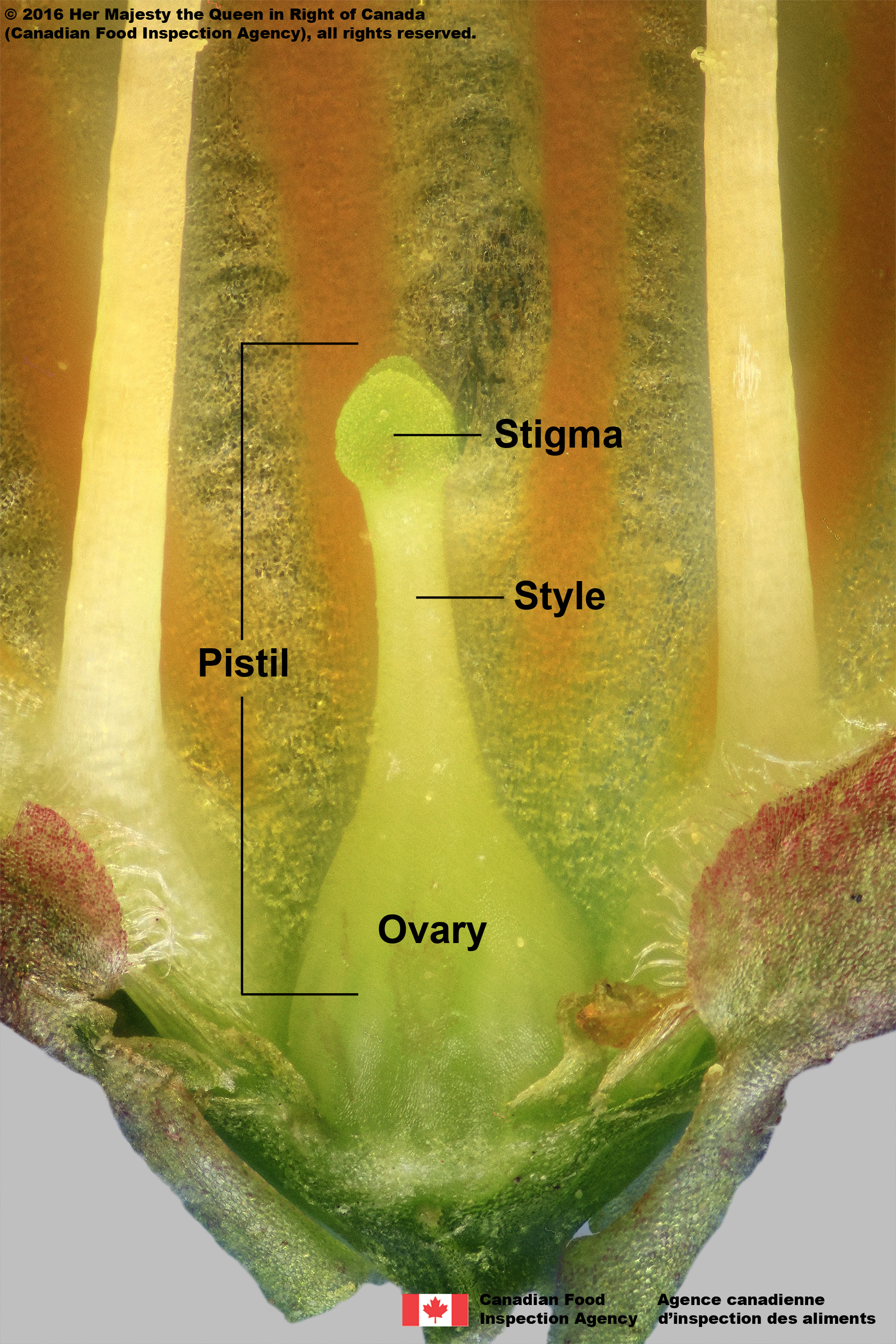 style_and_ovary_annotated1_PISTIL_LEFT2.jpg